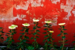 white green contrast red Seven, Chyrsanthemums, red rough background, Fine Art photography by Leslie Leong, Canadian Artist, Whitehorse, Yukon