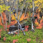 Autumn colours around a deteriorating wooden canoe, Ted Harrison Artist Retreat at Crag Lake, Yukon, photography by Leslie Leong