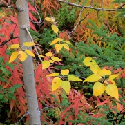 yellow leaves jump out of red and green, Autumn colours, Yukon, photography by Leslie Leong
